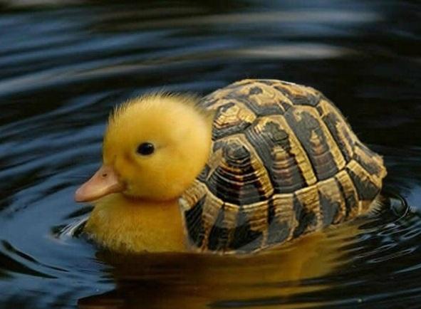 Vịt thì cần mai rùa để làm gì nhỉ?
