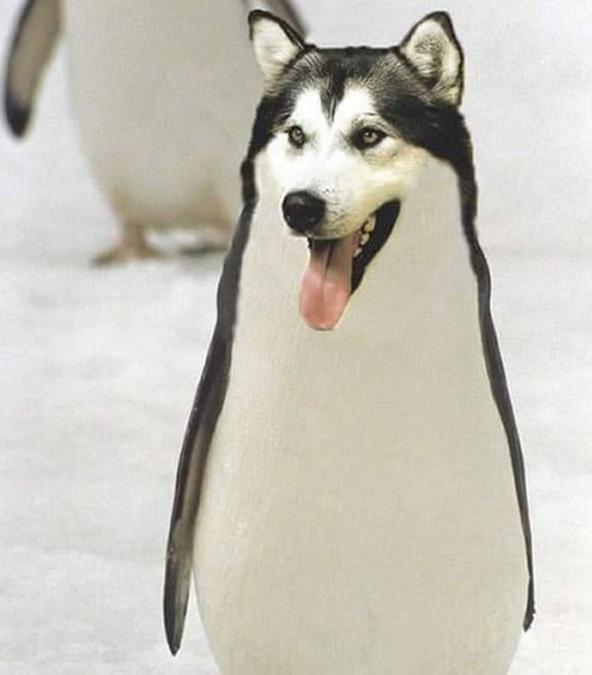 """Tưởng tượng bản mặt ham hố của mấy con Husky mà lại có tướng đi lạch bạch như con cánh cụt thì chắc """"không nhặt được mồm"""" mất."""