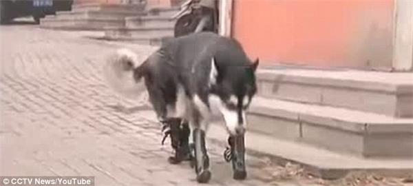 Giờ đây chú chó khốn khổ ngày nào đã có thể đi lại và sinh hoạt như bình thường.