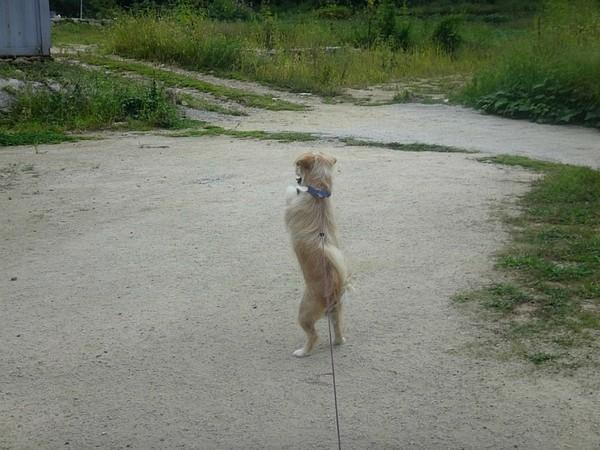 """Cô chó mẹ có """"tiền sử tiền án"""" hay bỏ nhà đi hoang cuối cùng đã khiến chủ không chịu nổi, phải cột nó lại."""
