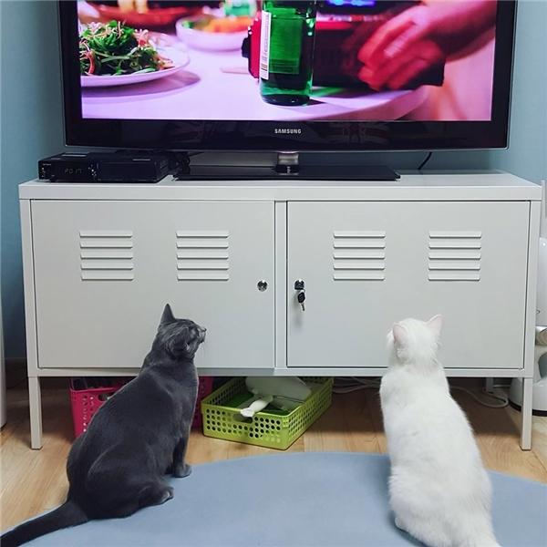 Ai bảo mèo không biết xem tv.