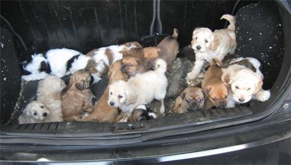 Giải cứu 30 chú cún con bị chất đống trong cốp xe