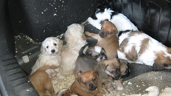 Những chú chó con tội nghiệp bị nhốt trong cốp xe chờ vận chuyển vào Scotland.