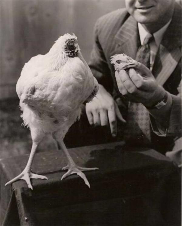 Mike, chú gà nổi tiếng thế giới khi sống 18 tháng không cần .... đầu! (Ảnh: Internet)
