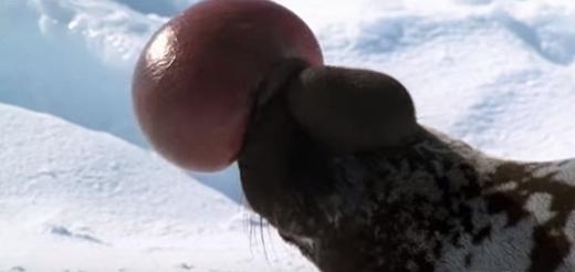 Phần màng trên đầu của loài hải cẩu này có thể được thổi phình lên đến hơn 30cm đường kính và có màu đỏ tươi.