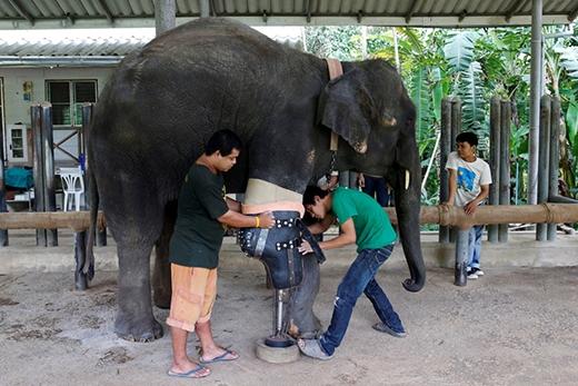 Cũng theo FAE, Mosha là chú voi đầu tiên được lắp chân giả và chiếc chân giả ban đầu của nó là vào năm 2007.