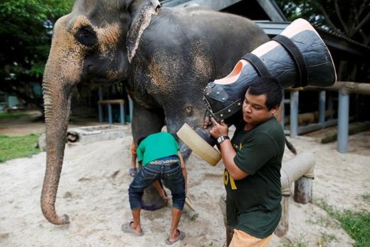 Khoảnh khắc xúc động: Chú voi giẫm mìn mất một chân được gắn chân giả