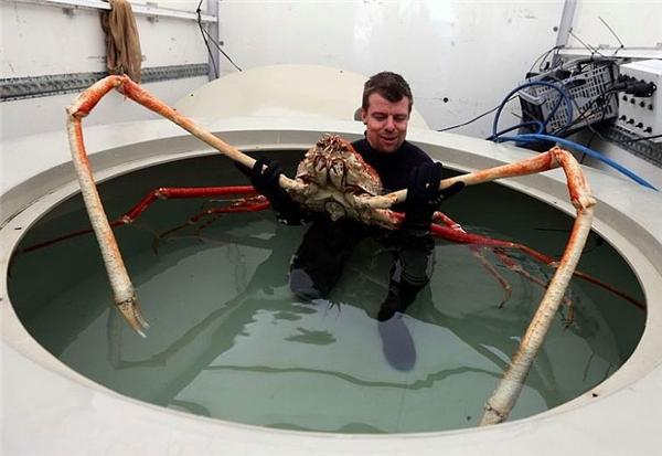 Đã bao giờ bạn thấy một con cua khổng lồ, bề thế như vậy chưa? Đây là Cua nhện Nhật Bản sống ở ngoài khơi đảo Honshu, Nhật Bản. Loài cua khổng lồ này cóthể phát triển cao tới hơn 3.6m và nặng 19kg. (Ảnh Internet)