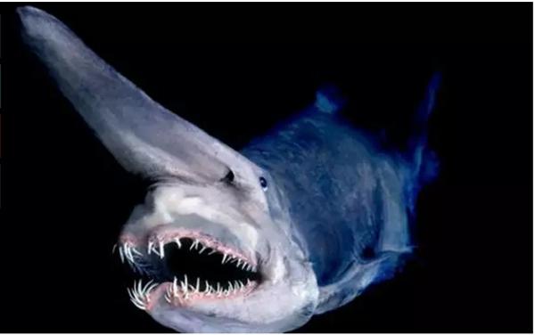 """Đây là loài cá mập có vẻ bề ngoài đáng sợ với phần miệng rộng, răng lởm chởm, đôi mắt nhỏ và chiếc mũi dài như một cái sừng. Loài sinh vật được đặt tên là """"cá mập yêu tinh"""" (Gobin Shark), chính vì vẻ ngoài đó mà nó làm chúng ta liên tưởng đến một chủng loài tiền sử. (Ảnh Internet)"""