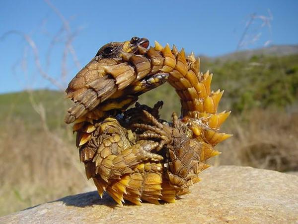 Thorny Dragon là tên của một loài thằn lằn cư trú chủ yếu ở các sa mạc tại Australia. Loài thằn lằn này nỗi bật với lớp vảy màu nâu vàng, xù xì đầy gai góc, giúp chúng ngụy trang và tự vệ khi gặp nguy hiểm, cũng với hình dáng này mà người ta gọi chúng là rồng. Đặc biệt, loài này có thể sống đến 20 năm, thọ hơn nhiều so với hầu hết các loài thằn lằn khác. (Ảnh Internet)