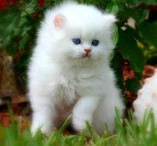 Lông trắng muốt thế này, mắt xanh thế này là phạm pháp đấy.
