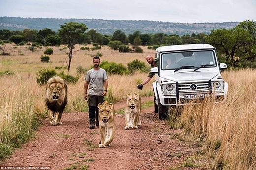 Để làm được điều này, anh đã phải tiếp xúc với sư tử từ khi chúng vừa chào đời.
