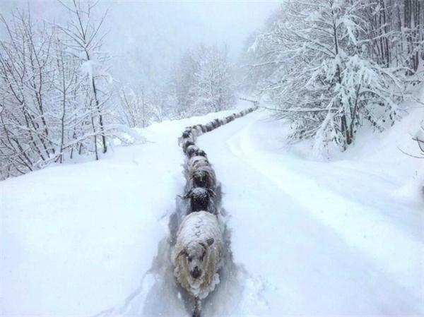 Đàn gia súc mùa đông.