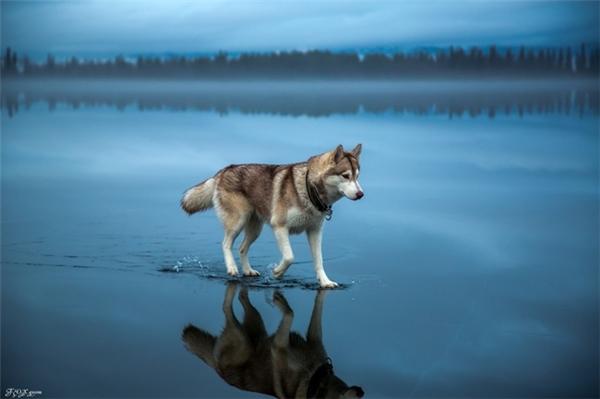 Chú sói cô độc.