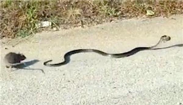 Chuột mẹ đuổi theo con rắn.(Ảnh: Cắt từ clip)