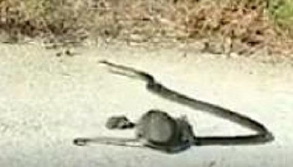 Con rắng nhả chuột con ra, vùng vẫy tìm đường thoát.(Ảnh: Cắt từ clip)