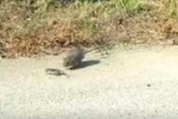 """Sau khi """"đuổi đánh"""" kẻ thù, chuột mẹ trở lại với chuột con. (Ảnh: Cắt từ clip)"""