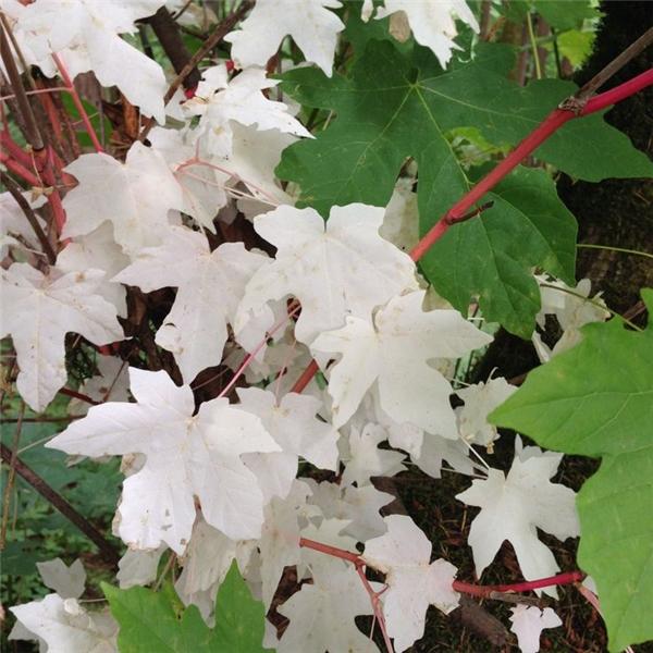 Cũng giống như ở động vật, hiện tượng thiếu sắc tố ở thực vật cũng khiến cho chúng có màu trắng xóa.