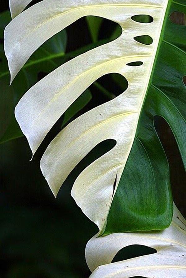 Có một số loài cây bị bạch tạng một phần, nguyên nhân có thể là do đất trồng thiếu dưỡng chất.