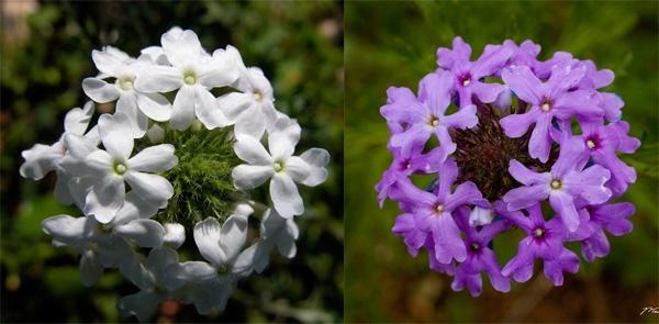 Một số loài cây dù có lá xanh tươi nhưng khi ra hoa lại có màu trắng dù thông thường chúng không phải là loài hoa trắng.