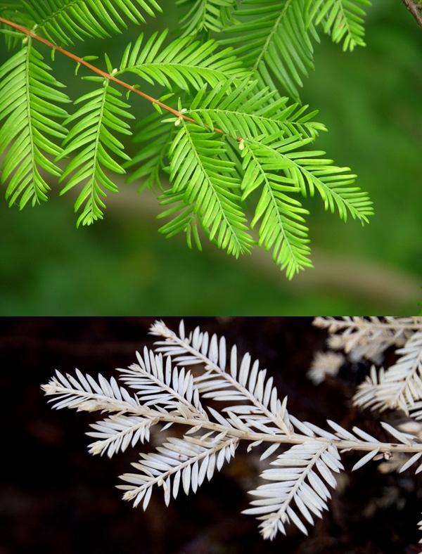 Đặc biệt ở loài cây redwood rất phổ biến ở vùng tây bắc nước Mỹ, nếu bị bạch tạng, chúng sẽ không trắng cả cây hay hoa mà chỉ bị mất sắc tố xanh ở một cành nhỏ mọc ra từ thân mẹ. Cành nhỏ này sẽ đóng vai trò ký sinh, hút dưỡng chất từ thân mẹ, nếu không có thân mẹ chúng sẽ chết.