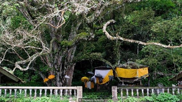 Cây thần kỳ của làng Trunyan nhìn bề ngoài gần giống như một cây đa cổ thụ.
