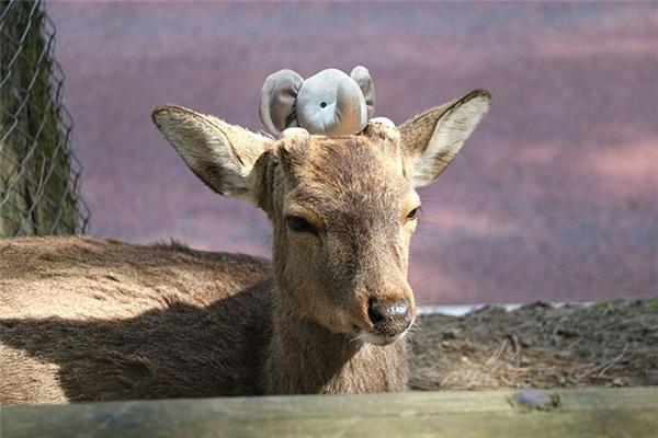 Chú voi nhỏ đã kết bạn được với một chú hươu ở Peru.