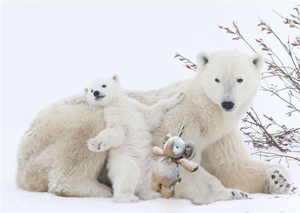 Sau đó chú tiếp tục tạt lên phía Bắc để giải nhiệt cùng gấu Bắc cực. (Ảnh: Internet)