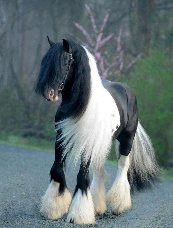 Ngựa Gypsy, hay còn gọi là ngựa Gypsy Vanner, là một giống ngựa được người Gypsy di cư xưa kia lai tạo để kéo xe và những ngôi nhà di động.