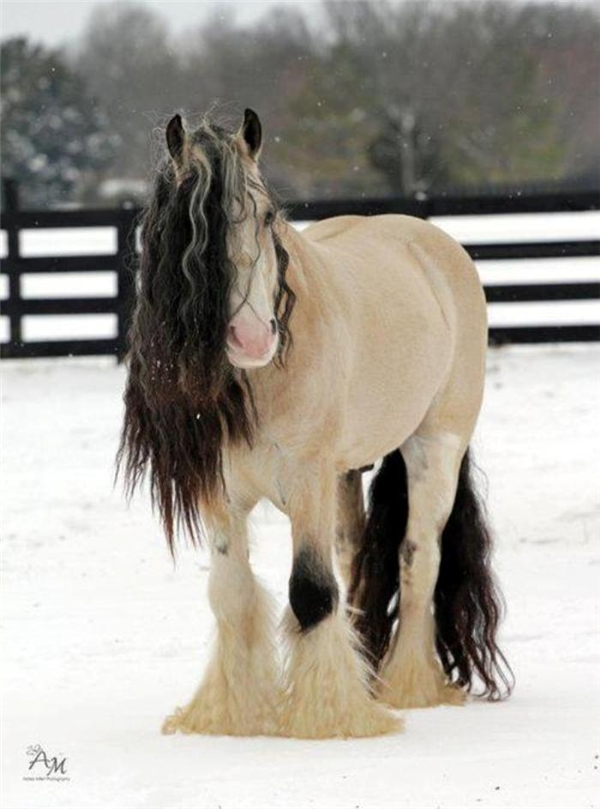 Đặc điểm của giống ngựa này đó là chúng có chiều cao khiêm tốn và lông phủ dày cơ thể để chống chọi với thời tiết lạnh giá.