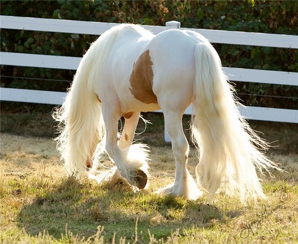 Đặc biệt, phần bờm, đuôi và trên 4 cẳng chân của chúng mọc lông rất dài và dày, xõa xuống tới mặt đất.