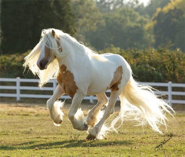 Chính nhờ đám lông tóc nổi bật này mà chúng trông có vẻ rất lãng tử, đặc biệt khi tung vó trên đồng cỏ.