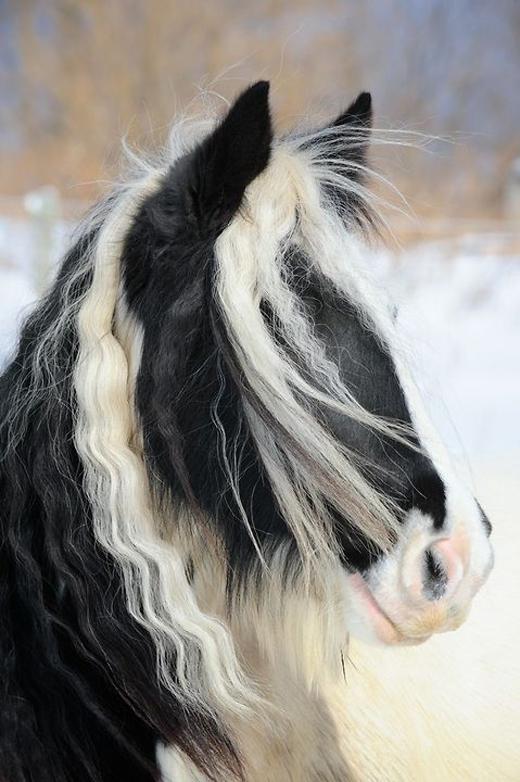Phần lông này có hai loại: lông thẳng và lông xoăn.