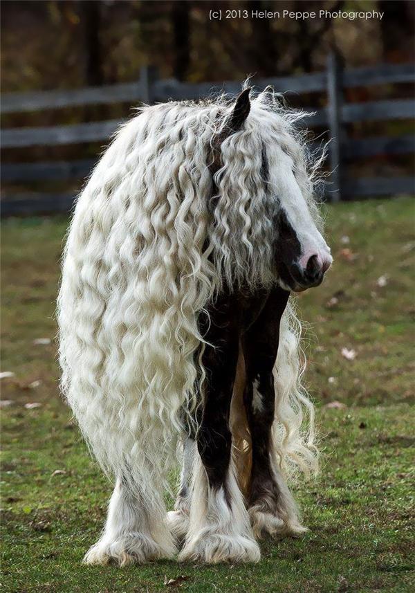 Còn lông xoăn thì dày hơn, rậm hơn, lại khó khô nên nếu sau khi tắm xong mà không chải khô thì da của chúng rất dễ bị nhiễm bệnh.