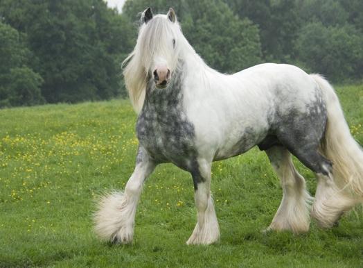 Để hài hòa với toàn bộ cơ thể, lưng và cổ của ngựa Gypsy khá ngắn, tạo ấn tượng về một giống ngựa lùn đẹp mã.