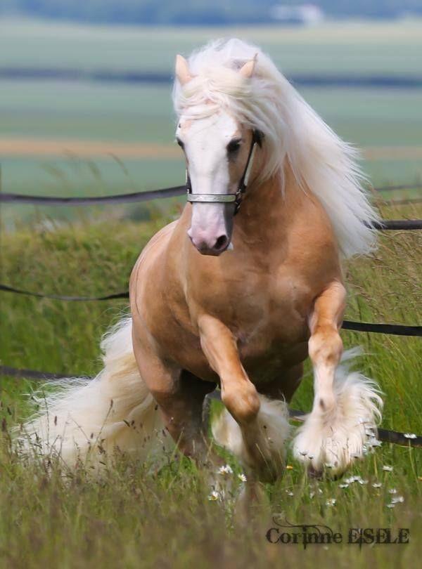Thế nhưng, trí thông minh, độ dẻo dai, khả năng chịu đựng, sự tinh ranh và giác quan nhạy bén của giống ngựa này được đánh giá là vượt trội so với bất kỳ giống ngựa nào khác trên đời.