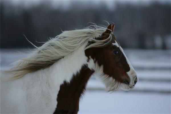 Chính nhờ sự tinh khôn của chúng mà ngựa Gypsy đóng vai trò rất quan trọng trong mọi lĩnh vực cuộc sống của người Gypsy du mục với cuộc sống lang bạt nay đây mai đó.