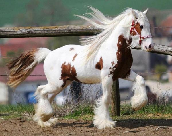 Loài ngựa này quý giá với người Gypsy đến nỗi ở một số vùng, đặc biệt ở Anh và Ireland, người ta xem chúng là một loại tiền tệ để trao đổi hàng hóa.