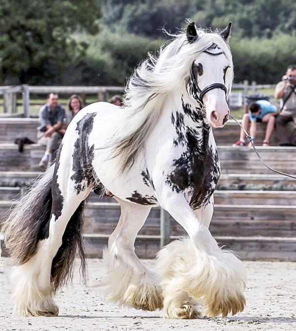 Hiện nay ở một số nước như Mỹ, giống ngựa này được dùng để biểu diễn và chạy đua.