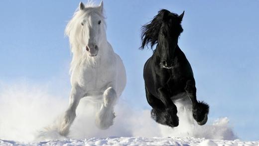 Thế nhưng chúng chỉ thực sự thoải mái và xinh đẹp nhất khi được sống tự do trên đồng cỏ với cuộc sống lang bạt cùng chủ mình.