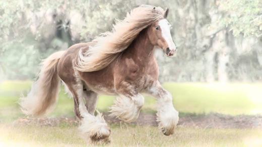 Ngộ nghĩnh giống ngựa có suối tóc óng mượt dài chấm đất