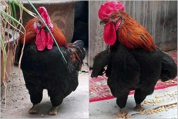 Còn bạn, bạn thấy chú gà này thế nào? (Ảnh: Internet)