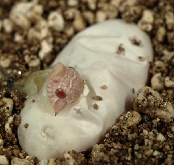 Lúc mới nở đã thấy rõ chiếc mũi lợn buồn cười rồi. (Ảnh: snakesnmoresnakes.blogspot.com)
