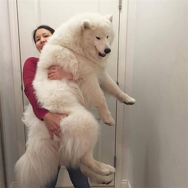 Samoyed là những em cún to xác nhưng cứ hay nũng nịu như trẻ con, lại còn có bộ lông mịn màng trắng như bông nữa chứ. (Ảnh: samoyedrocky)