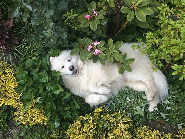 Samoyed rất thích được lăn lộn giữa vườn hoa và hòa mình vào thiên nhiên. (Ảnh: lord_kovu)