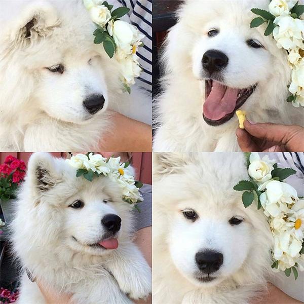 Loài chó đẹp hơn hoa chính là đây. (Ảnh: we_love_samoyed)