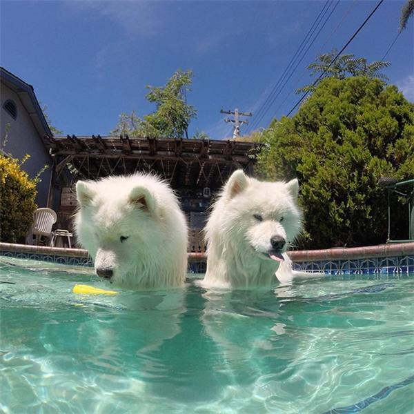 Samoyed cũng không ngần ngại đi bơi giải nhiệt ngày hè nóng bức với bạn. (Ảnh: hugoandyogi_samoyed)