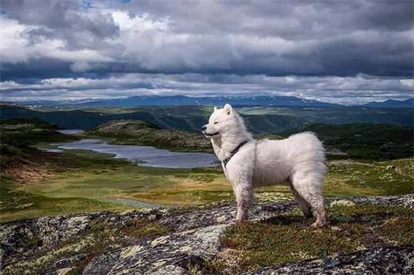 Nếu bạn dắt Samoyed đi phượt thì sẽ nhận ra chúng cũng là giống chó có vẻ ngoài rất hùng dũng, oai nghiêm đấy nhé. (Ảnh: life_of_elton)