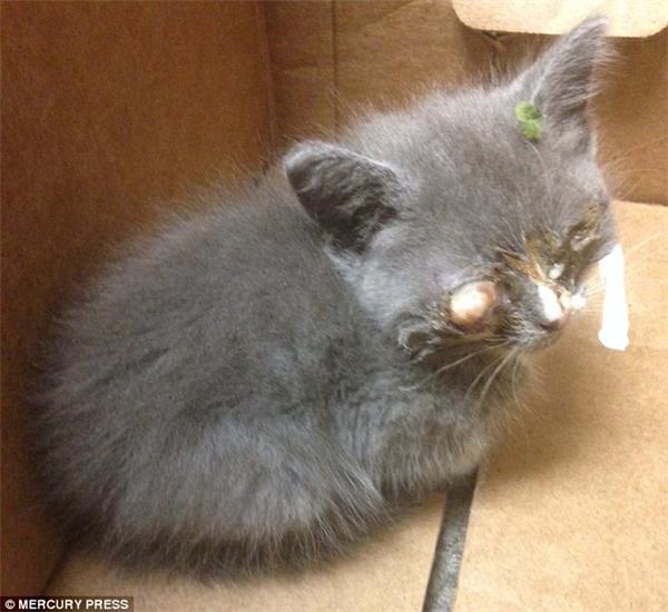 Braille – cô mèo 8 tuần tuổi vớiđôi mắtnhiễm trùng nặng khi được tìm thấy.(Ảnh: Mercury Press)