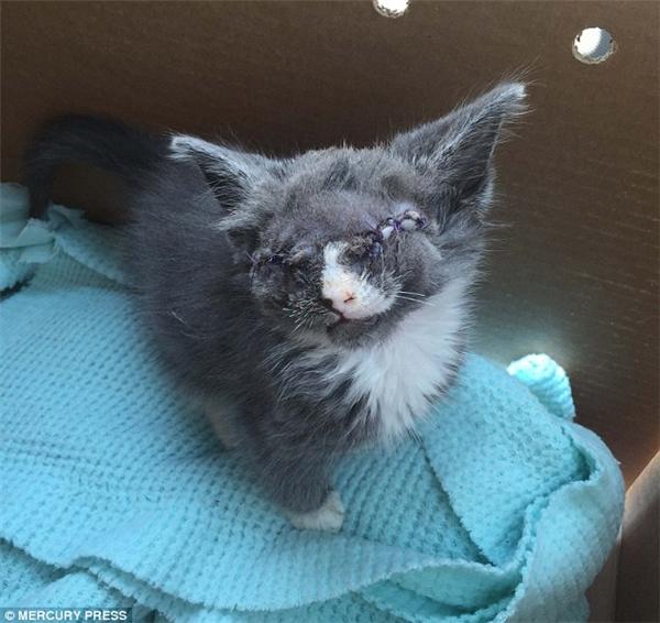 Các bác sĩ thú y đã phải cắt bỏ đôi mắt của Braille mặc cho tình trạng sức khỏe rất yếu của cô mèo bởi nếu cô mèo hắt xì, đôi mắt ấy có thể sẽ… vọt ra ngoài.Braille hiện đang hồi phục rất tốt và cảm nhận thế giới xung quanh bằng cách đánh hơi. (Ảnh: Mercury Press)
